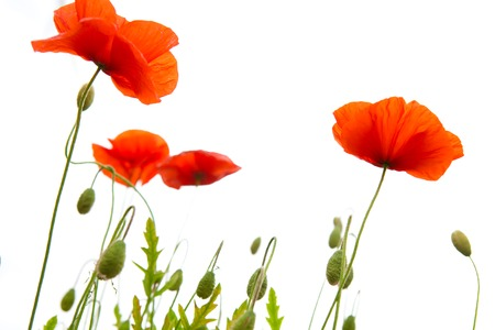 Red poppies isolated on white background.Flowers background. Stock Photo