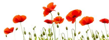 赤いケシは、白い背景で隔離。花の背景。