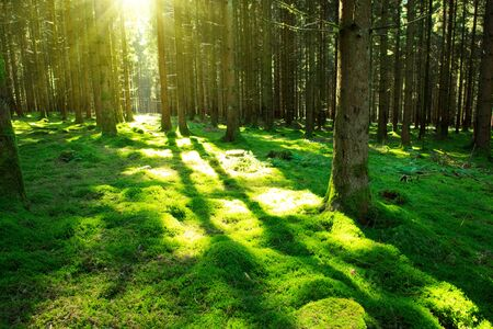 Sunshine forest trees. Sun through green forest nature. Forest in light. Summer forest. Tranquility of green forest nature Stock Photo
