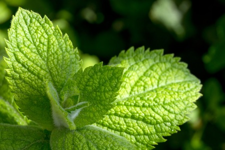 peppermint: Fresh looking green peppermint leaves. Fresh mint.
