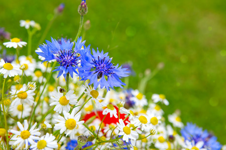fiordaliso: Wild flower bouquet with daisies and cornflowers. Wild flowers isolated on green background. Archivio Fotografico