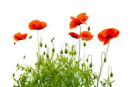 poppy: amapolas rojas aislados en fondo blanco background.Flowers.