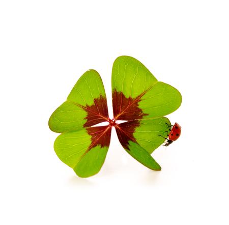 lucky charm: Lucky symbols: four-leaf clover and ladybug.Green cloverleaf and ladybirds, lucky charm.