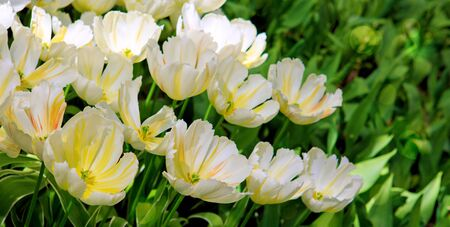 White tulips background. Stock Photo