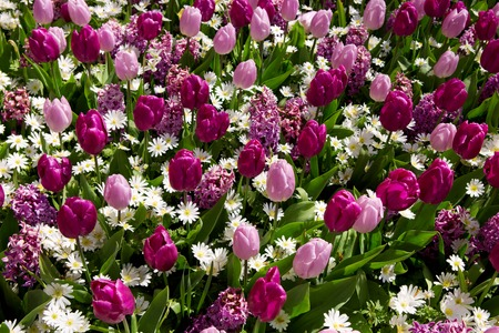 Pink and purple tulips background. Stock Photo