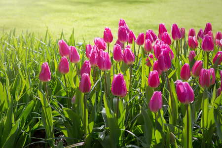 Pink tulips and sunshine. Stock Photo