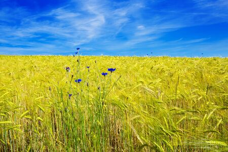 Summer landscape with flower meadof and blue sky. Stock Photo