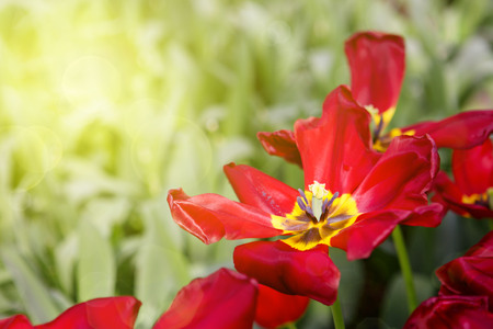 Red tulips and sunshine.