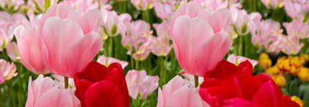 Beautiful pink tulips in the spring time.Macro shot. Stock Photo