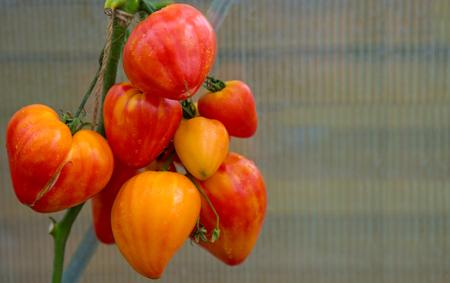 ensaladilla rusa: Tomates maduros ruso naranja natural que crece en una rama en un invernadero.