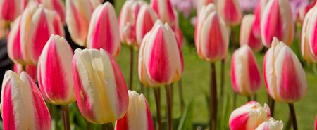 Beautiful pink tulips in the spring time.Macro shot.Close-up of closely bundled white-pink tulips. Stock Photo