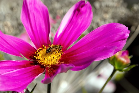 Bee on pink Cosmos flower.