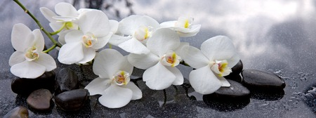 White orchid and black stones close up. 版權商用圖片