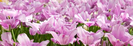 Pink tulips background. Stock Photo