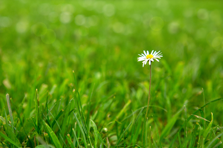 One daisy flowers on a green background