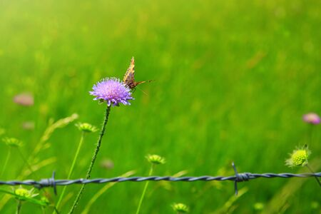 Orange butterfly on purple caucasian scabious and metal fence.