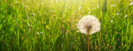 Spring flowers dandelions in green grass.
