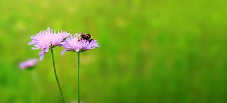 Macro shot on bee and purple flower.