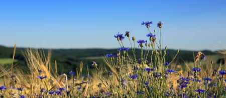 麦畑で青ヤグルマギク。 写真素材 - 82366613