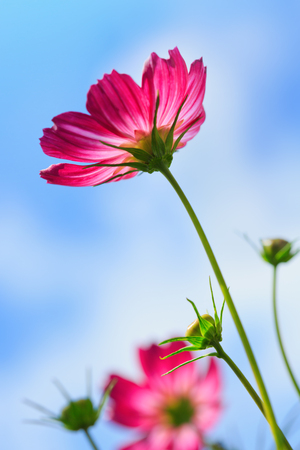Pink cosmos flower isolated on blue sky.