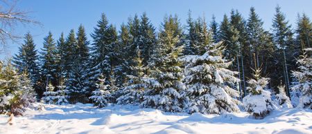 Fir trees and snow ,holiday background.