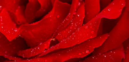 아름 다운 빨간 장미 근접 촬영입니다.