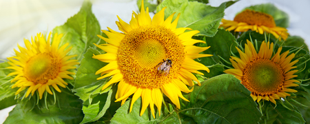Close up of sunflower and bee .