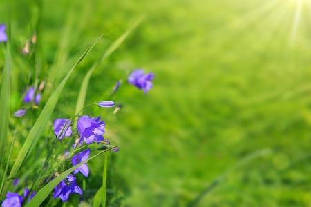 Blue Bell Flowers.