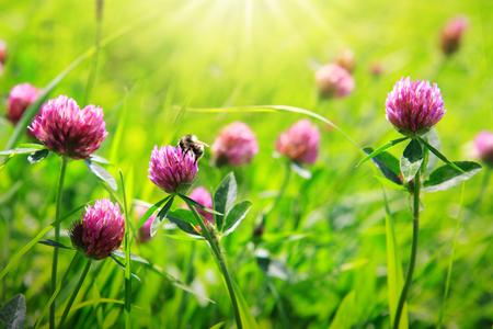 bee on flower: Bee on clover flowers field.