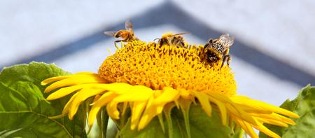 humilde: Cerca de girasol y tres abejas.
