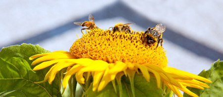 bee on flower: Close up of sunflower and three bee . Stock Photo