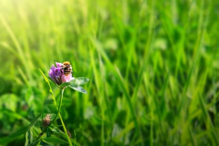 is green: Bee on clover flowers field.