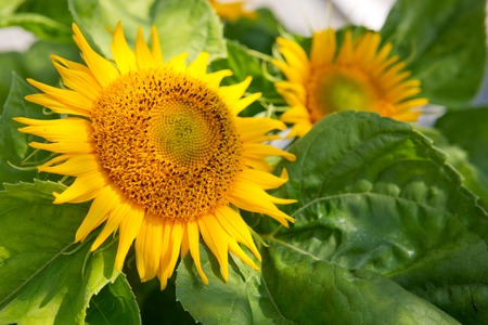humble: Close up of sunflower.