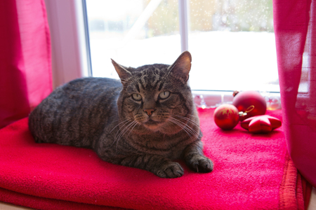 A gray cat sits on a woolen blanket by the window in winter. Cat looking out the window in winter. Christmas background.