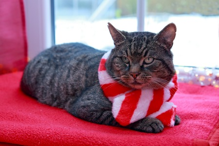 A gray cat with red scarf sits on a woolen blanket by the window in winter.