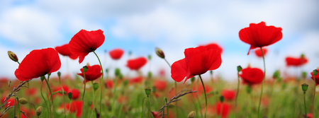 Poppies on sky background. Stock Photo