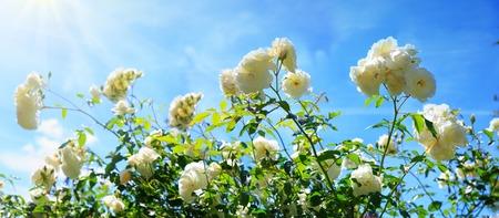 White climbing roses on sunny sky background.