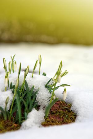White snowdrop flowers under the snow. Stock Photo