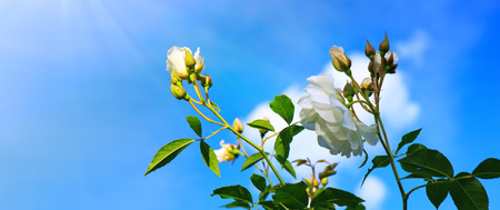 White climbing roses on sunny sky background.