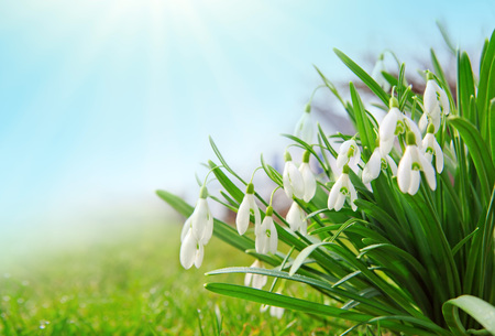 White snowdrop flowers isolated on blue sky. Stockfoto