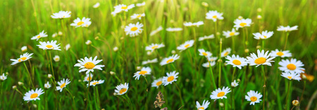 Daisy field in the sunny summer day. Banque d'images