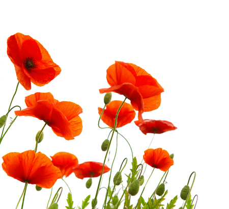 Red poppy flowers isolated . Stock Photo