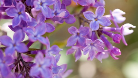 Close up of purple lilac bush blooming in spring day flowers close up of purple lilac bush blooming in spring day flowers background stock photo mightylinksfo