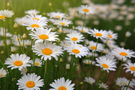 White daisy flowers . Summer background. Stock Photo