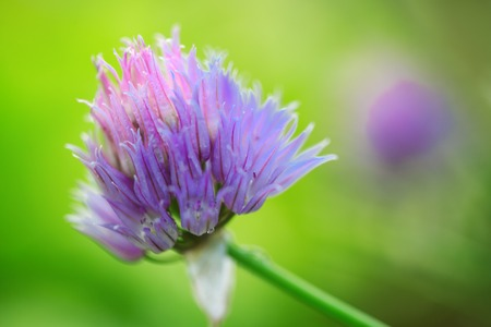 Purple Chives flowers isolated on green blur background.