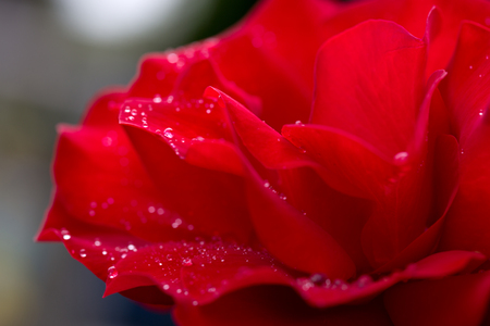 Red rose closeup with water drops. Flowers background.