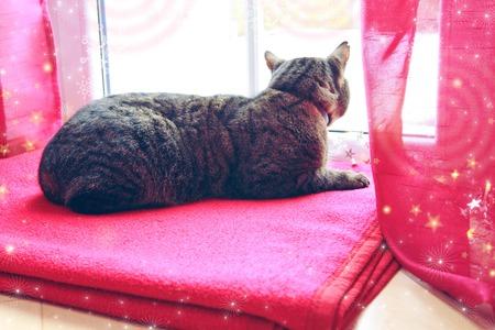 A gray cat sits on a woolen blanket by the window in winter. Stockfoto