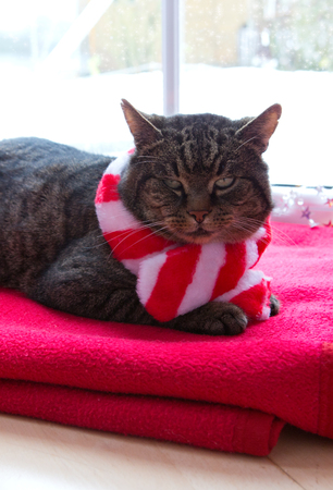 A gray cat with red scarf sits at home by the window in winter.