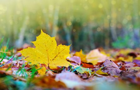 Yellow autumn maple leaf isolated on a color background. Foto de archivo - 133570085