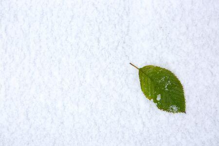 Green cherry leaf lies on the white snow . Winter background. Foto de archivo - 133570105
